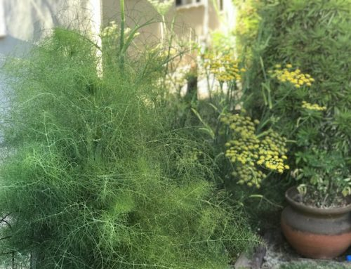 ALL ABOUT FENNEL